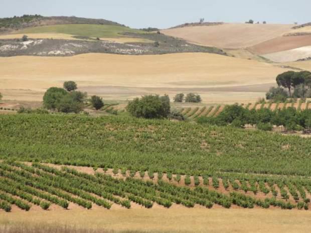 Paysage de vignoble a Olmedillo, pres de Tórtoles de Esgueva