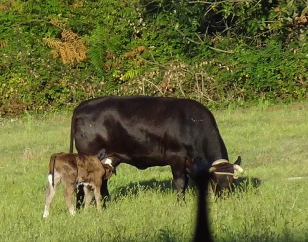 vacas galicia0