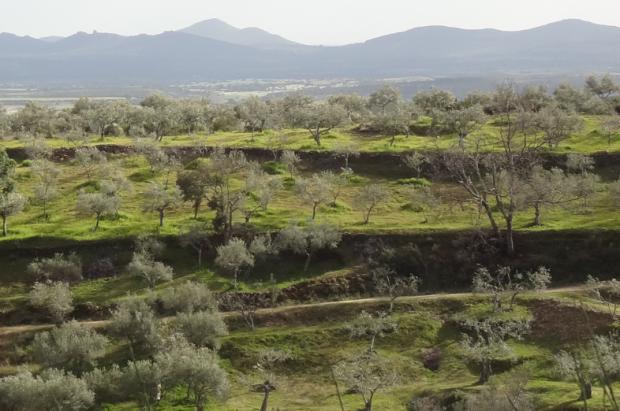 Le cout de chaque olive fait (ou non) la rentabilité de ce paysage