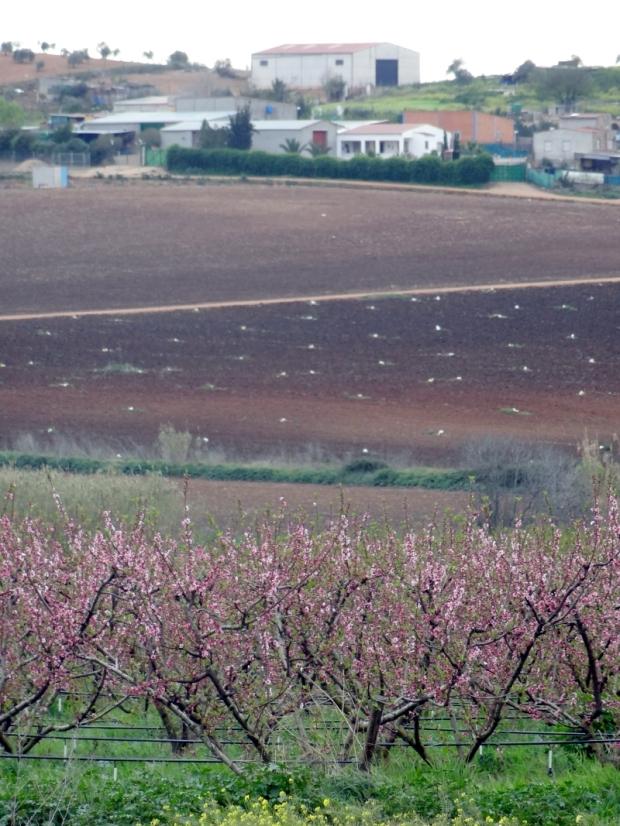 Quelque part dans l'ouest de l'Espagne: les arbres fruitiers en bas de l'image ont leurs tuyeaux d'irrigation en position bien visible.